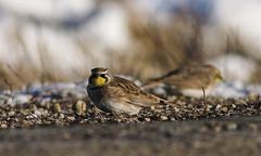 horned lark (debunkshy1) Tags: hornedlark