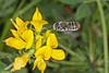 Bee wings IMG_3727AA (Kool bee) Tags: australiannativebees bees megachilidae megachileunplacedmodesta lotusulignosus wingspeed