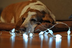 string of lights (ladybugdiscovery) Tags: nutmeg basset hound dog lights sleep rest