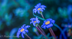 Autumn family portrait (frederic.gombert) Tags: flower flowers light sun sunlight rain drop raindrop droplet dew dewdrop water blur blue yellow bokeh plant garden macro nikon d810