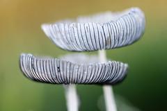 {Micro Mushroom}FCC137