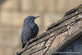 Blue rock Thrush Stow on the wold
