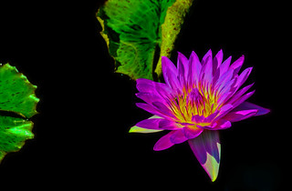 Day-Flowering Water Lily