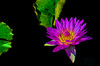 Day-Flowering Water Lily (mp13 nhnc) Tags: waterlily purple green blue water lily blossom petals plant contrast bokeh