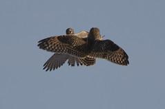 Face off! (Chris Bainbridge1) Tags: asioflammeus falco tinnunculus shortearedowl kestrel cambridgeshire fens dispute mid air battle