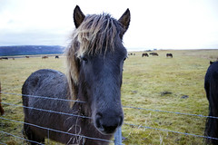 Icelandic Horseys (lolamorena) Tags: veterinary vet animals animal horsey iceland icelandic horse horses winter cold europe european farm gorg gorgeous pentax pentaxk3ii pentaxk3 travel attraction inspiring remote remoteplaces