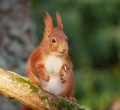 Eichhörnchen (tinka1364) Tags: eichhörnchen squirrel