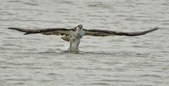 Osprey at the Shoreline (Jeff Clow) Tags: 2017 january spi southpadreisland southtexas usa beautyinnature birding birds nature wild wildlife flying osprey predator fishing hunting ospreyinflight