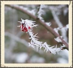 Cristaux (passionpapillon) Tags: extérieur outside nature naturaleza plante givre frosted gelo helada cristaux crystals cristales cristalli hiver winter inverno invernio cynorhodon passionpapillon