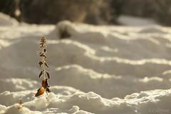 Small warrior (nathaliedunaigre) Tags: plante fleur flower plant hiver winter snow neige sunny ensoleillé soleil sun froid cold profondeurdechamp