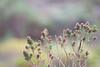 DSC_7448 (mylesm00re) Tags: f africa anthobaphesviolacea gantouwpass hottentotshollandnaturereserve nectariniidae orangebreastedsunbird oranjeborssuikerbekkie southafrica westerncape za bird