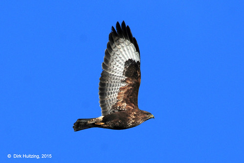 Common Buzzard 405206ghb