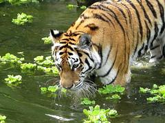 AMBERES - EL ZOO (DETALLE) (mflinera) Tags: amberes belgica zoo tigre