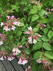 Fagerbusk (fotomormor) Tags: fagerbusk rosa grønt
