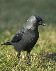 Jackdaw (J J McHale) Tags: westernjackdaw corvusmonedula jackdaw scotland