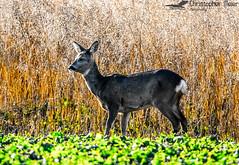 Deer (ChrisAir86) Tags: deer wildlife dawn field sun