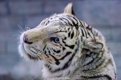 Rocky ♂ - Mein kleines Herz sehnt sich nach dir... (Belteshazzar (AKA Harimau Kayu)) Tags: rocky kara tiger zoo animal bigcat bigcats feline bengaltiger pantheratigristigris königstiger indischertiger eltigredebengala tigredubengale latigrerealedelbengala бенгальскийтигр 孟加拉虎 whitetiger weisertiger tigreblanco tigreblancroyal белыйтигр 孟加拉白虎 zooshot tobu tobuzoo snowwhite sunbathing canada playful playfulcat playfultiger playfulwhitetiger bengal genesimmons rockstar