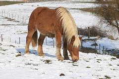 2017-01-22_11h53m25 (lecridulama) Tags: rhônealpes winter hiver snow horse cheval neige animauxdomestiques chevaux cublize auvergnerhônealpes france