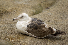 Slaty-backed Gull (fredhochstaedter) Tags: mtypeninsula ptpinos slatybackedgull bird gull