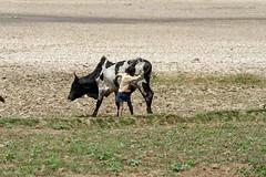 DSC06319_DxO_Bildgröße ändern (Jan Dunzweiler) Tags: madagaskar africanbikers radreise fahrradreise anja anjapark sitetouristiqueanja jandunzweiler zebu zeburind
