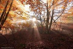 Positive Vibration IV (Hector Prada) Tags: bosque otoño luz sol rayos hojas naturaleza paisvasco forest autumn light sun sunbeam leaves nature hectorprada gold golden navarre