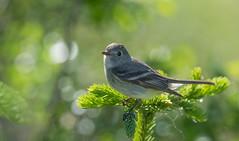 Hammond's Flycatcher (best viewed large) (kdee64) Tags: june spring yukon whitehorse flycatcher hammondsflycatcher migratorybird northerncanada empidonaxhammondii mcintyrecreek