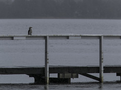 Bird Sitting in the Rain (Arcus Cloud) Tags: bird rain birds rainyday jetty wharf centralcoast waterbirds australianbirds longjetty sittingintherain