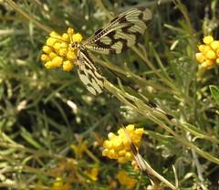 Griekse wimpelstaart (Manon van der Burg) Tags: black macro beautiful bug insect natuur zomer summertime grieks natuurfotografie netvleugelig wimpelstaart