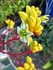 Yellow Kangaroo Paws 1 (Needleloca) Tags: flowers garden ribbet 2015 kangaroopaws