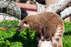 Coatimundi Marwell, Hampshire, UK (rmk2112rmk) Tags: animals raccoon mammals marwell coati coatimundi