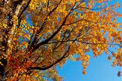 Orange Leaves (SamuelWalters74) Tags: newyorkcity autumn trees newyork unitedstates centralpark manhattan fallcolors places autumnleaves autumncolors fallfoliage centralparkinautumn