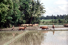 25-830 (ndpa / s. lundeen, archivist) Tags: people bali man color men film water field birds animals rural 35mm indonesia landscape cattle farmers farm nick farming ducks farmland ox 25 southpacific fields local farmer plow ricepaddies 1970s 1972 plowing oxen indonesian ricepaddy flooded balinese oceania pacificislands banteng nickdewolf photographbynickdewolf reel25