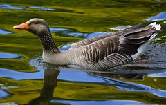 Blue and gold reflections. (artanglerPD) Tags: blue reflection gold goose greylag
