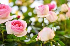 Rose 'Pierre de Ronsard' raised in France (naruo0720) Tags: rose nikon bokeh sigma      pierrederonsard d810  frenchrose  sigmaapomacro150mmf28exdgoshsm