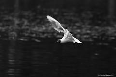 Hettemke (froydisphotos) Tags: bird natur fugl mse hettemke
