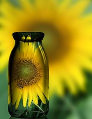 Sunflower in a bottle (Forsaken Fotos) Tags: sunflower