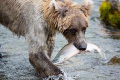 Brown bear eating salmon (Kenneth Kearney) Tags: bear nature nationalpark fishing wildlife salmon catching brownbear katmai brooksriver katmainationalpark