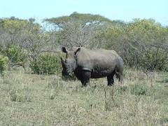 Rhino, Hluhluwe NP