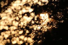 gold o' mine (Rodrigo Alceu Baliza) Tags: light sunset sun tree gold leaf wire mine pattern bokeh sigma line 300mm through jaboticaba paralel pliniacauliflora