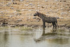 Spotted Hyena (PhotoGizmo) Tags: spotted hyena watering hole reflection