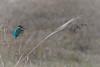 Eisvogel 035 (bertheeb) Tags: eisvogel vogel nikon d750