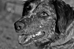 Milly Mutt - Springer Collie X (Vortex Photography - Duncan Monk) Tags: english springer spaniel collie cross x black white bw dog kennel club pooch pet mud digging nose tongue whiskers