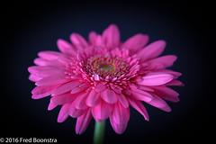 """Pink Gerbera"" with different light setup. (A.J. Boonstra) Tags: canon canoneos canon70d falconeyesskk2150d westcott gerbera flower closeup flowers macro"