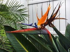 Birds of Paradise (logan zarobinski) Tags: petals leaves red green orange birdsofparadise whitefence fence white flower