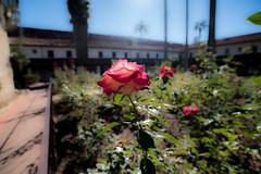Old Mission Santa Barbara (jimsheaffer) Tags: mission oldmissionsantabarbara santabarbaramission santabarbara california travel traveling nikond750 nikkor1835mmf3545gedlens wideanglelens nikonwideangle rose flower sun sunlight
