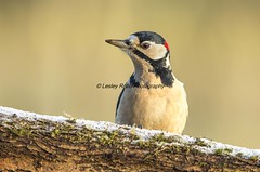GSW (Lesley Robb) Tags: great spotted woodpecker colour bird frost woodland nature
