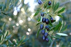 Aceitunas (HayaYamamoto) Tags: andalucia cordoba spain zuheros aceitunas olives olivas