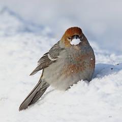 Femelle de Durbec des sapins / Female of Pine Grosbeak (alain.maire) Tags: oiseau bird fringillidae pinicolaenucleator durbecdessapins pinegrosbeak nature quebec canada hiver winter