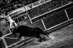 Je l'aurai un jour... (vedebe) Tags: animaux taureaux humain people noiretblanc netb nb bw monochrome coursescamarguaises camargue raseteur jeux sport sportifs france