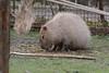 Capybara im Gaia Zoo (Ulli J.) Tags: zoo niederlande nederland netherlands paysbas nederlandene limburg kerkrade gaiazoo capybara wasserschwein kapivar fodsvin grandcabiaï grandcochondeau grandhydrochère capibara waterzwijn